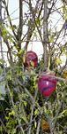 Meteorologie mit allen Sinnen, Phänologie als Wissenschaft, aber auch für das Auge, hier: Forsytienblüte zu Ostern